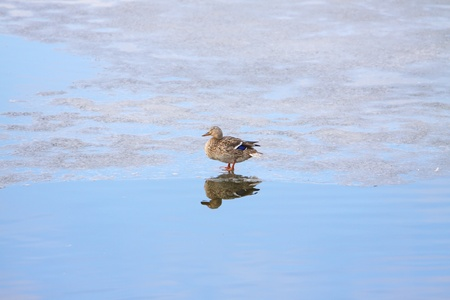 female duck standing on the edge of the ice on a frozen lake photo
