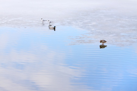 ducks and gulls are on the ice, cold day in early spring photo