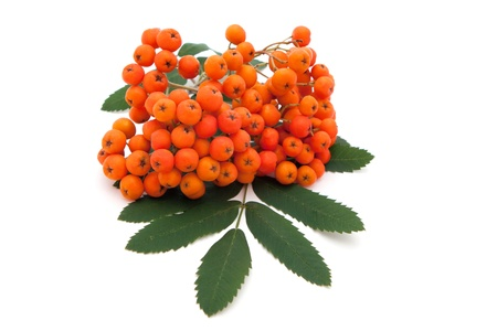bunchy: ashberry mont�n de hojas sobre fondo blanco Foto de archivo