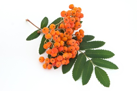 bunchy: mont�n ashberry con hojas aisladas sobre fondo blanco