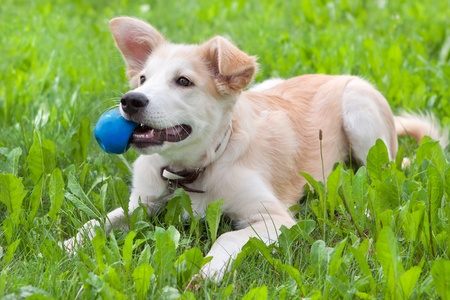 golden retriever puppy on the grass with the ball in his teeth photo