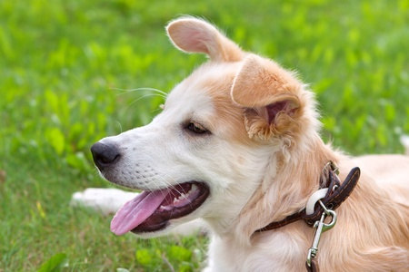 golden retriever puppy lying on green meadow, summer Stock Photo - 10380936