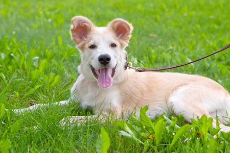 golden retriever puppy lying on green grass on meadow Stock Photo - 10436185