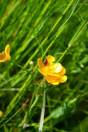 ladybug on yellow buttercup flower against a background of green grass photo