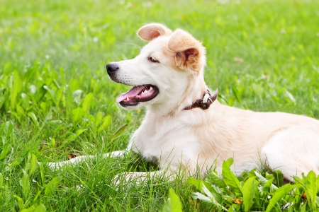 golden retriever puppy lying on grass on meadow photo