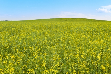 blooming rapeseed field in a clear summer day photo