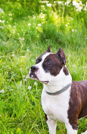 Staffordshire terrier on a green summer meadow photo