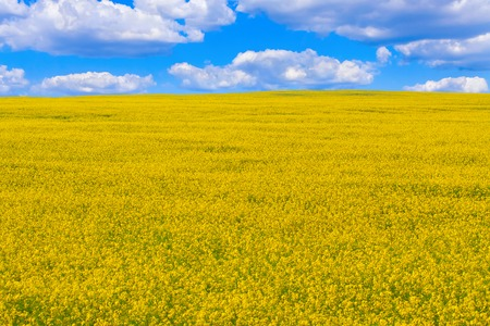 blue background texture: Field of flowering oilseed rape under the sky with clouds, the concept of organic agriculture