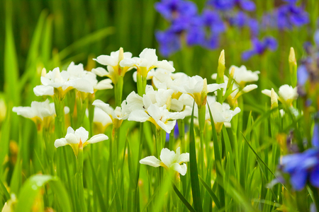 purple irises: natural spring background, white and purple irises on the flowerbed