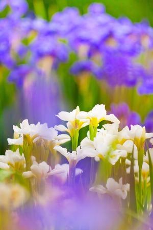 purple irises: the lush thickets of fresh blooming white and purple irises