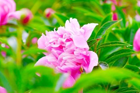 lush: lush pink peony flower in green foliage Stock Photo
