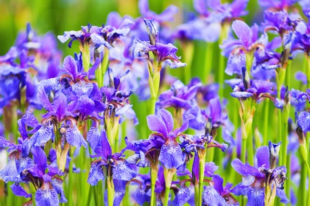 purple irises: dense thickets of purple irises, lush garden in summer
