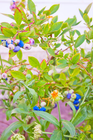 blueberry bushes: Blueberry bushes in a garden in early summer Stock Photo