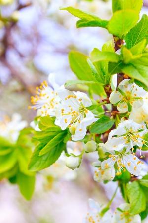 takken van appelbomen in zachte bloemen en bloemknoppen