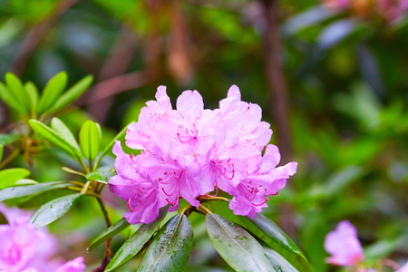 Lush branch on a bush of flowering pink rhododendrons