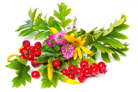 Berries of hawthorn, flowers of Jerusalem artichoke and clover