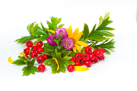 red berries of hawthorn, clover and flowers of Jerusalem artichoke