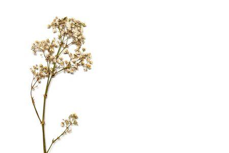 Trockene Schleierkrautblüten auf einem Zweig auf weißem Hintergrund. Rohlinge für Ihr Design. Standard-Bild