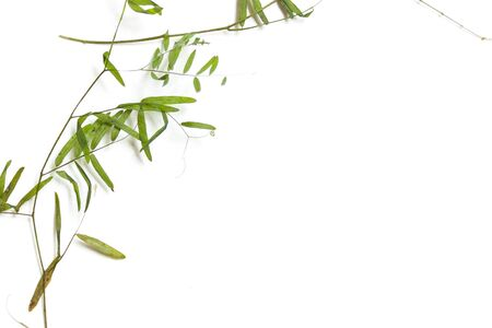 Dry thin stalks of wild peas. Element for green eco design.