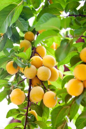 Cherry plum branches are densely strewn with ripe yellow fruits in the orchard close up