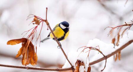 tit bird sits on a snowy maple branch on a winter day close-up 版權商用圖片