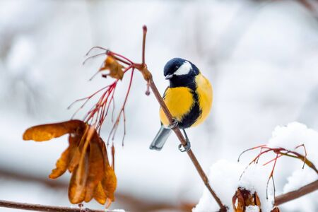 Little bird titmouse sits on a snowy maple branch with dried seeds in a cold winter day close-up