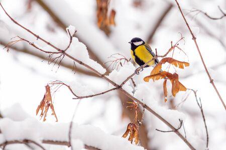 Little tit bird sits on a snowy maple branch in winter 版權商用圖片