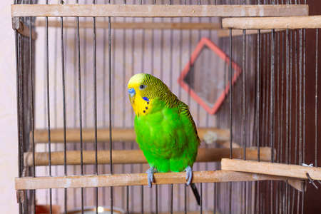 A budgerigar is sitting at the exit from the cage.