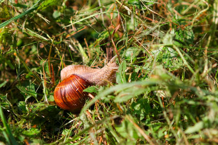 Snail with brown shiny shell crawling in the grass on a sunny day Stok Fotoğraf