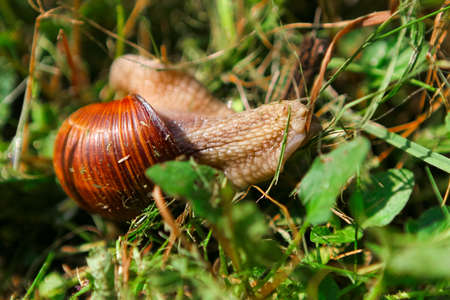 Snail with brown shiny shell crawling in the grass in the garden close up