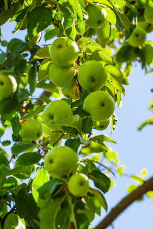 Green apples on a tree branch with green foliage on a summer day in the garden