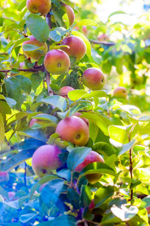 Varietal apples with a red side on a tree branch with foliage on a summer day