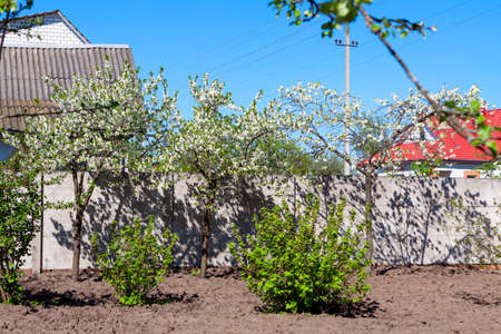 Blooming apple and plum trees in a farmers garden on a sunny day.