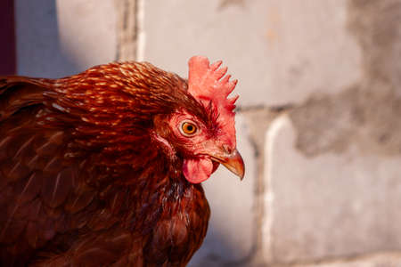 Chicken with bright plumage on the farm. Poultry farming. Stok Fotoğraf