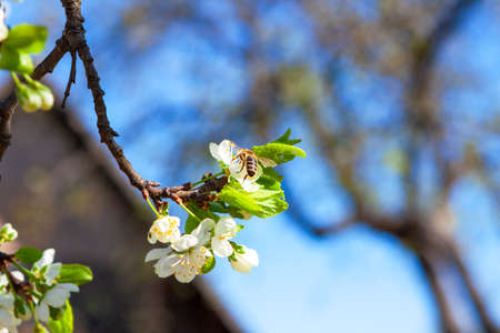A bee pollinates a lush blooming apple tree branch in a farmers orchard.