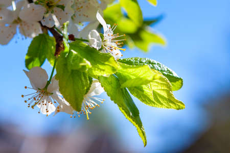 blooming apple tree branch in a farmers orchard Stok Fotoğraf