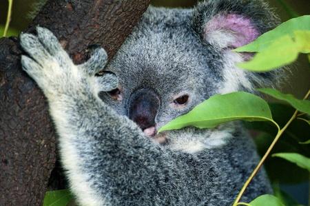 Koala Stock Photo - 8458679