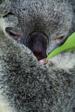 Koala Stock Photo - 8458676