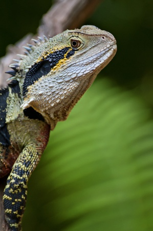lurk: Australian Water Dragon