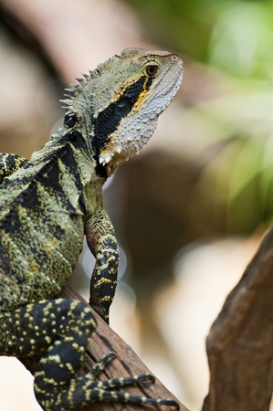lizzie: Australian Water Dragon