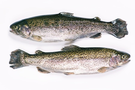 salmo trutta: two trouts on a white background
