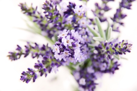 spicy plant: bouquet of lavender flowers