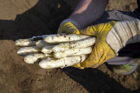 Vers gesneden witte asperge zo dicht omhoog in handen van een oogsthand
