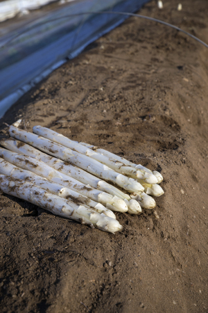 unwashed: Fresh cut white Asparagus as close-up on soil