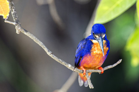 Azure Kingfisher in Australia