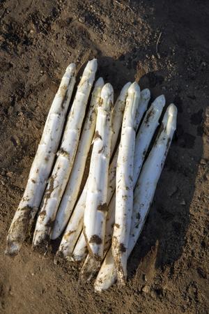 Fresh cut white asparagus as close-up soil Фото со стока