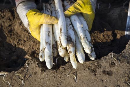 として新鮮なカットのホワイト アスパラガスが収穫手の手にクローズ アップ 写真素材 - 78670226