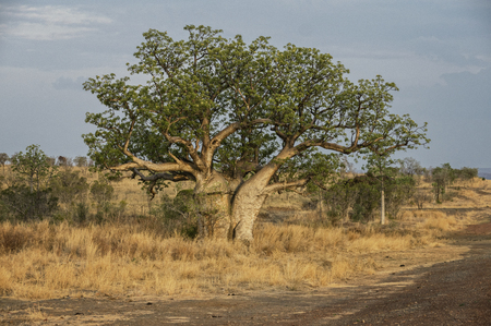 Baobab at the Kimberley Region Stock Photo - 78670230