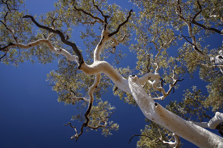 Ghost Gum in Australia