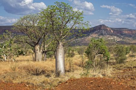 Baobab at the Kimberley Region Stock Photo